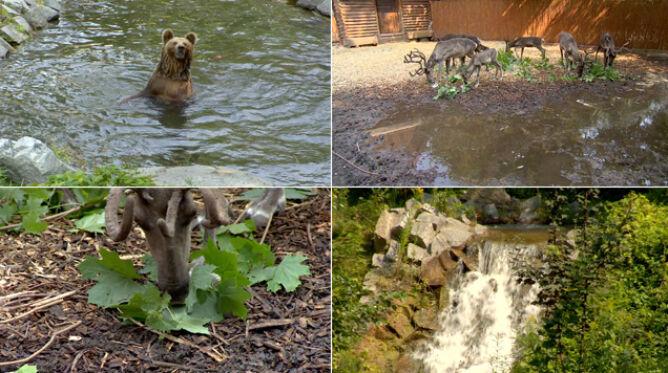 Tygrys leży w bambusach, kotiki jedzą rybne lody. Tak zoo walczy z upałami