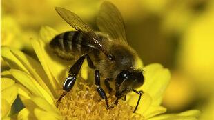 Pszczoły pracują nawet, gdy są ciężko chore