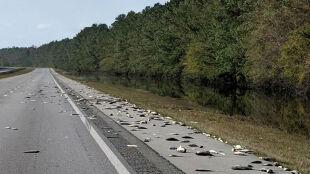 Tysiące martwych ryb na autostradzie