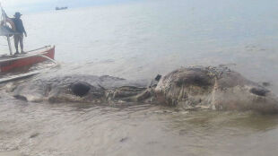 Ta morska kreatura gniła w pobliżu egzotycznej plaży. Zobacz zdjęcia