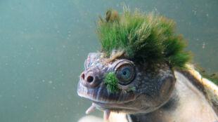 Ma zielony czub, oddycha genitaliami. I wkrótce może wyginąć